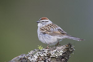 Chipping Sparrow (Spizella passerina), Troy, Montana - Donald M. Jones