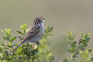 Clay-colored Sparrow (Spizella pallida) calling, Mission Valley, Montana  -  Donald M. Jones