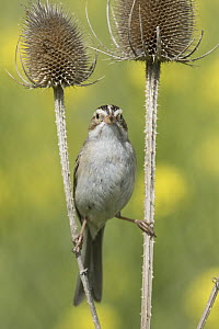 Clay-colored Sparrow (Spizella pallida) balancing between thistles, Mission Valley, Montana  -  Donald M. Jones