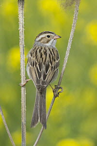 Clay-colored Sparrow (Spizella pallida), Mission Valley, Montana  -  Donald M. Jones