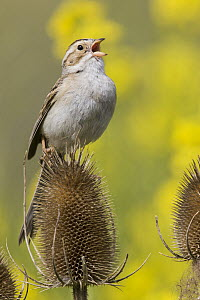 Clay-colored Sparrow (Spizella pallida) calling from thistle, Mission Valley, Montana  -  Donald M. Jones