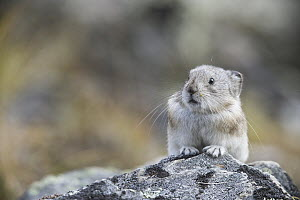 Collared Pika (Ochotona collaris), Denali National Park, Alaska  -  Donald M. Jones