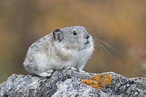 Collared Pika (Ochotona collaris), North America  -  Donald M. Jones