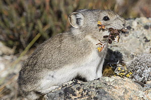 Collared Pika (Ochotona collaris) carrying flowers, Denali National Park, Alaska  -  Donald M. Jones