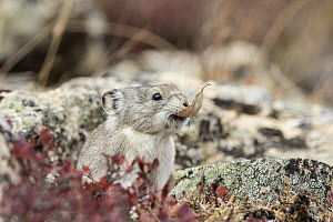 Collared Pika (Ochotona collaris) carrying leaf, Denali National Park, Alaska  -  Donald M. Jones