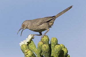 Curve-billed Thrasher (Toxostoma curvirostre) feeding on cactus flower nectar, southern Arizona. Sequence 2 of 2 - Donald M. Jones