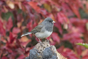 Dark-eyed Junco (Junco hyemalis) in autumn, Troy, Montana  -  Donald M. Jones