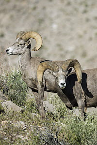 Desert Bighorn Sheep (Ovis canadensis nelsoni) rams, southern Nevada  -  Donald M. Jones
