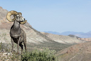 Desert Bighorn Sheep (Ovis canadensis nelsoni) ram in desert, southern Nevada  -  Donald M. Jones