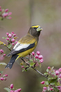 Evening Grosbeak (Coccothraustes vespertina) male in flowering tree, Troy, Montana  -  Donald M. Jones