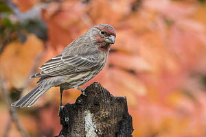 House Finch (Carpodacus mexicanus) male in autumn, Troy, Montana  -  Donald M. Jones