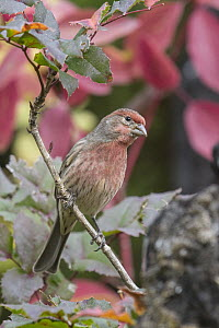 House Finch (Carpodacus mexicanus) male, Troy, Montana  -  Donald M. Jones