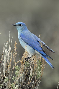 Mountain Bluebird (Sialia currucoides) male, southwestern Montana  -  Donald M. Jones