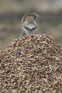 Red Squirrel (Tamiasciurus hudsonicus) on pine cone flakes, western Montana - Donald M. Jones