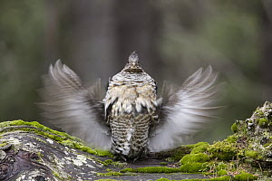 Ruffed Grouse (Bonasa umbellus) in defensive display, Yaak, Montana - Donald M. Jones