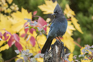 Steller's Jay (Cyanocitta stelleri) in autumn, Troy, Montana  -  Donald M. Jones