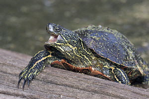 Painted Turtle (Chrysemys picta) in defensive posture, western Montana - Donald M. Jones