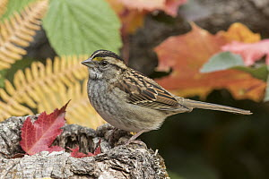White-throated Sparrow (Zonotrichia albicollis) in autumn, Troy, Montana  -  Donald M. Jones