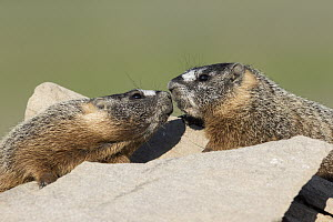 Yellow-bellied Marmot (Marmota flaviventris) pair greeting, central Montana  -  Donald M. Jones