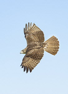Red-tailed Hawk (Buteo jamaicensis) flying, Texas - Alan Murphy/ BIA