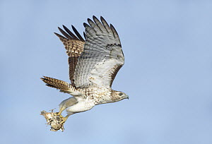 Red-tailed Hawk (Buteo jamaicensis) flying with Northern Bobwhite (Colinus virginianus) prey, Texas  -  Alan Murphy/ BIA