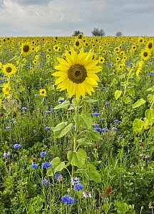 Common Sunflower (Helianthus annuus) and Cornflower (Centaurea cyanus) field, Hesse, Germany  -  Martin Grimm/ BIA