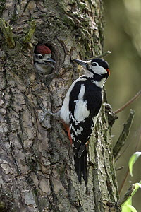 Great Spotted Woodpecker (Dendrocopos major) father with chick at nest cavity, North Rhine-Westphalia, Germany - Ralf Kistowski/ BIA