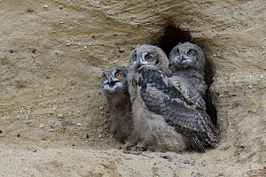 Eurasian Eagle-Owl (Bubo bubo) chicks at nest cavity, North Rhine-Westphalia, Germany - Ralf Kistowski/ BIA