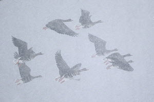 White-fronted Goose (Anser albifrons) group flying in blowing snow, North Rhine-Westphalia, Germany - Hans Glader/ BIA