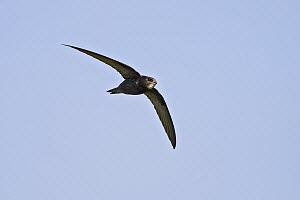 Common Swift (Apus apus) flying, Baden-Wurttemberg, Germany  -  Martin Grimm/ BIA