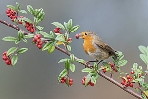 European Robin (Erithacus rubecula) feeding on berries, Aosta Valley, Italy  -  Alain Ghignone/ BIA