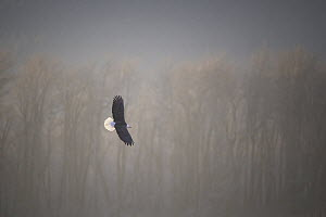 Bald Eagle (Haliaeetus leucocephalus) flying, Alaska  -  Marion Vollborn/ BIA