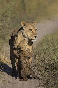 African Lion (Panthera leo) cub playing with mother, Okavango Delta, Botswana - Marion Vollborn/ BIA