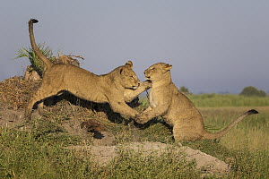 African Lion (Panthera leo) cubs playing, Okavango Delta, Botswana - Marion Vollborn/ BIA