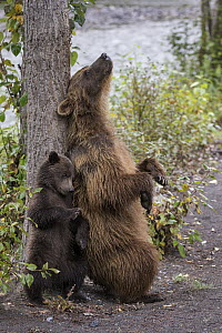 Grizzly Bear (Ursus arctos horribilis) mother and cub scratching themselves on tree, British Columbia, Canada - Marion Vollborn/ BIA