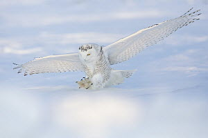 Snowy Owl (Nyctea scandiaca) hunting in winter, Quebec, Canada - Marion Vollborn/ BIA