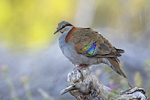 Brush Bronzewing (Phaps elegans) male, Victoria, Australia  -  Rob Drummond/ BIA