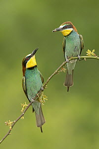 European Bee-eater (Merops apiaster) pair, Saxony-Anhalt, Germany  -  Thomas Hinsche/ BIA