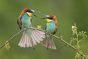 European Bee-eater (Merops apiaster) pair squabbling, Saxony-Anhalt, Germany  -  Thomas Hinsche/ BIA