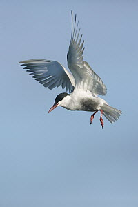 Whiskered Tern (Chlidonias hybrida) flying, Victoria, Australia - Rob Drummond/ BIA