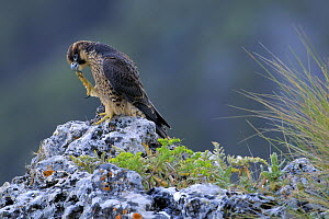 Peregrine Falcon (Falco peregrinus) juvenile cleaning feet, Andalusia, Spain  -  Andres M. Dominguez/ BIA