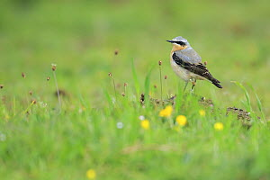 Northern Wheatear (Oenanthe oenanthe) male, Asturias, Spain  -  Andres M. Dominguez/ BIA