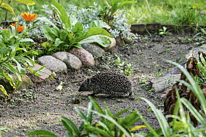 Brown-breasted Hedgehog (Erinaceus europaeus) in backyard, Brandenburg, Germany  -  Martin Grimm/ BIA