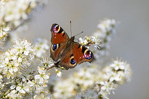 Peacock Butterfly (Inachis io), Baden-Wurttemberg, Germany - Martin Grimm/ BIA
