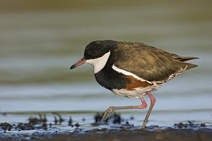 Red-kneed Dotterel (Erythrogonys cinctus) foraging, Victoria, Australia - Rob Drummond/ BIA