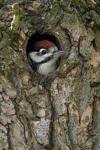 Great Spotted Woodpecker (Dendrocopos major) chick in nest cavity, North Rhine-Westphalia, Germany - Ralf Kistowski/ BIA