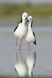 White-headed Stilt (Himantopus leucocephalus) pair courting, Victoria, Australia  -  Rob Drummond/ BIA