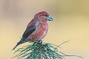 Parrot Crossbill (Loxia pytyopsittacus) male, Netherlands  -  Hans Glader/ BIA