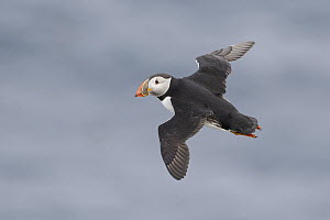 Atlantic Puffin (Fratercula arctica) juvenile flying, Grimsey Island, Iceland - Michael Milicia/ BIA