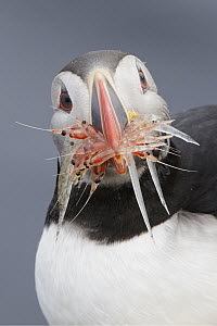 Atlantic Puffin (Fratercula arctica) with shrimp and fish prey, Grimsey Island, Iceland - Michael Milicia/ BIA